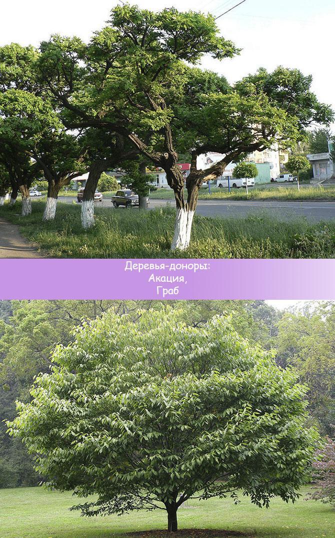 Деревья рекомендуемые к посадке у дома