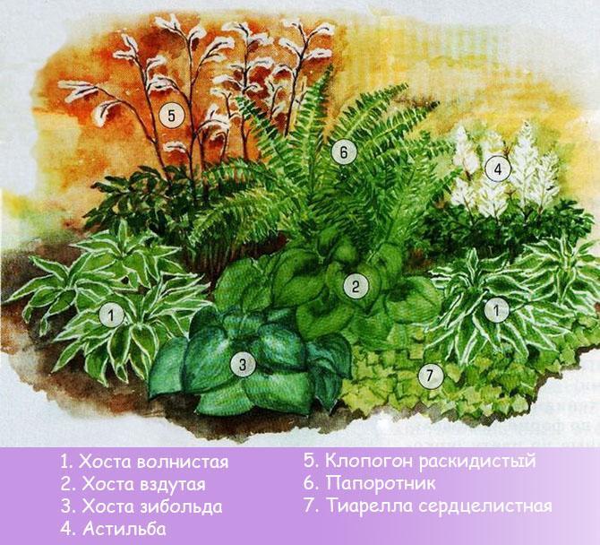 Схема клумбы с тенелюбивыми многолетними растениями