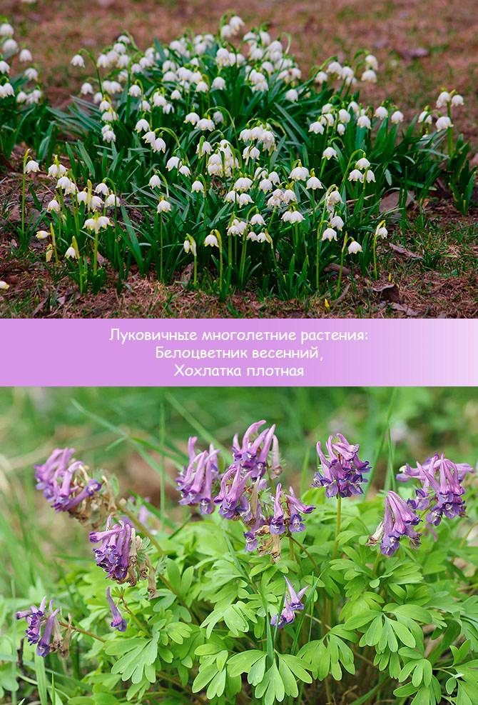 Луковичные многолетние растения