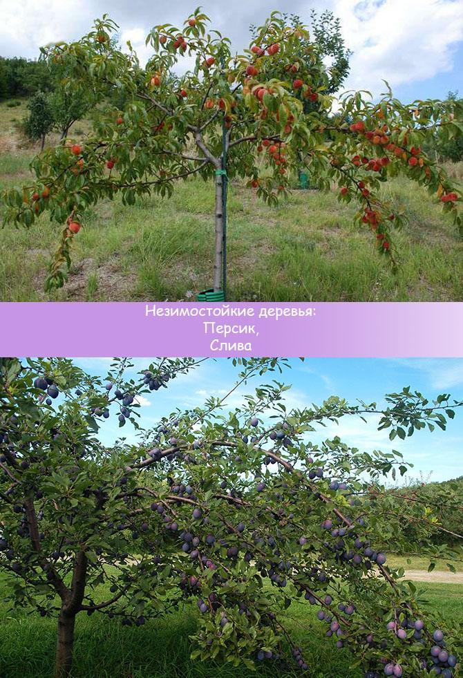 Деревья персик, слива