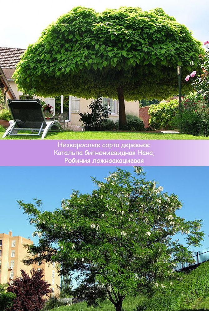 Низкорослые деревья Катальпа бигнониевидная и Робиния ложноакациевая