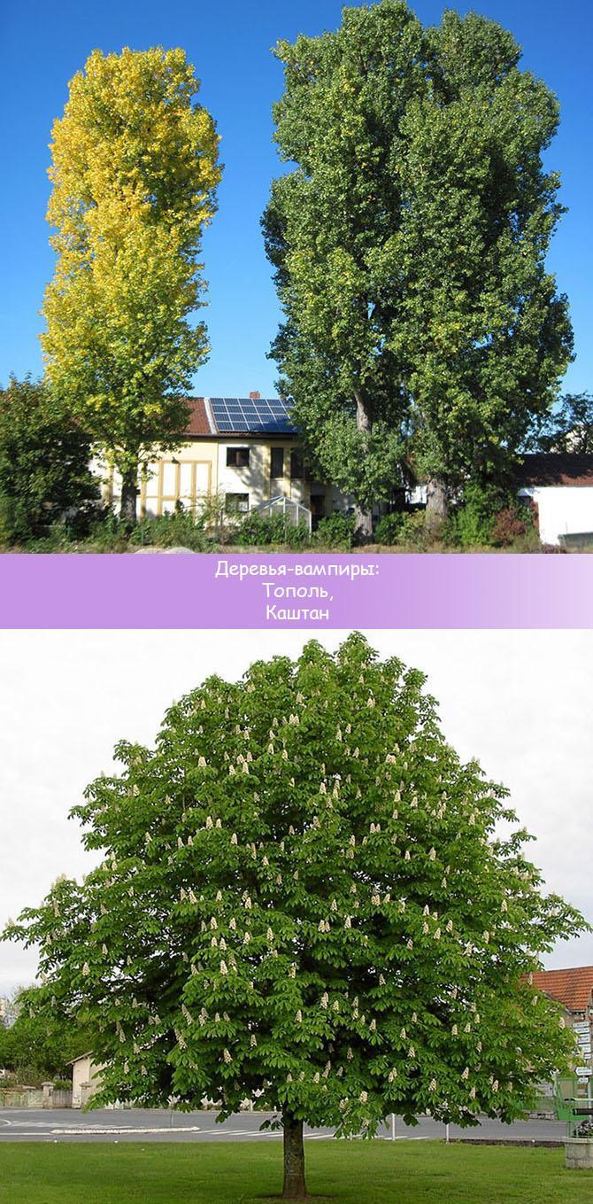 Деревья не рекомендуемые к посадке у дома