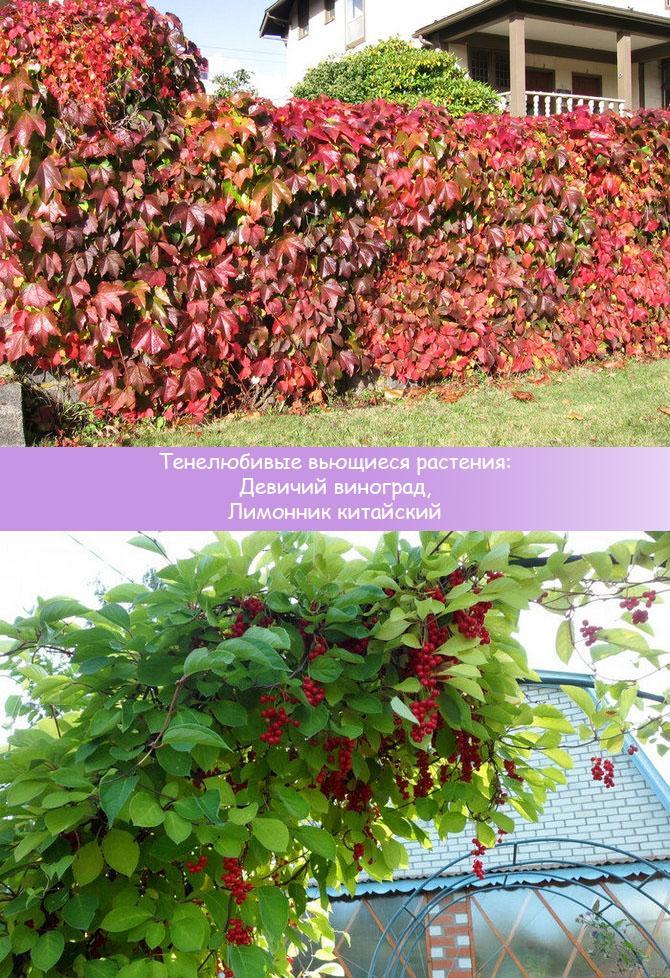 Тенелюбивые вьющиеся растения