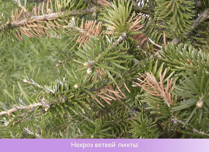 Некроз ветвей пихты