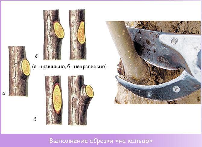 Схема обрезки ветки на кольцо