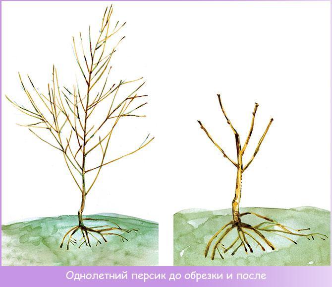 Однолетнее дерево персика до обрезки и после