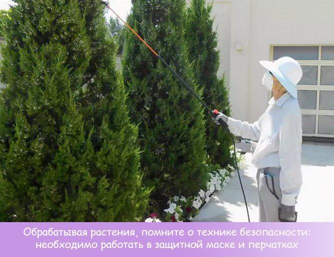 Опрыскивание хвойных растений
