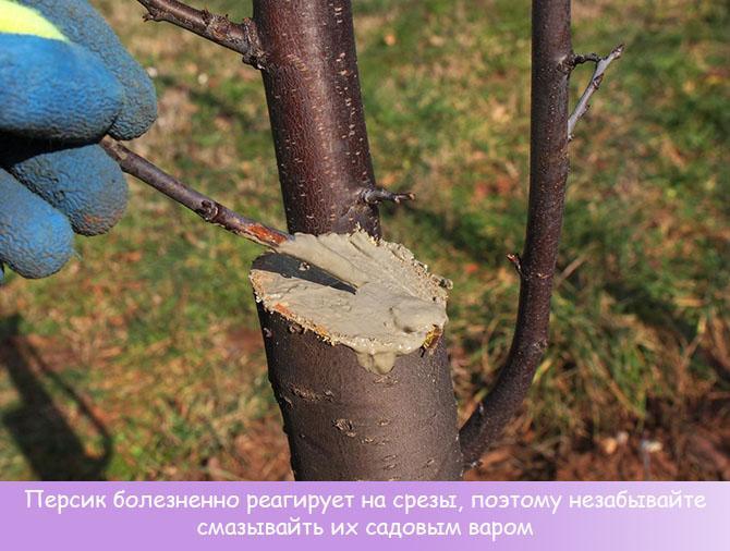 Смазывание места среза ветки садовым варом