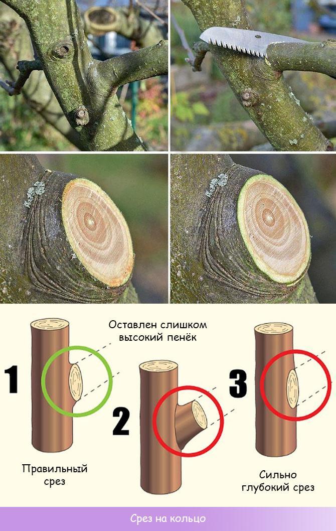 Правильная обрезка яблони на кольцо