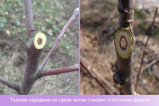 Темный центр ствола яблони на срезе