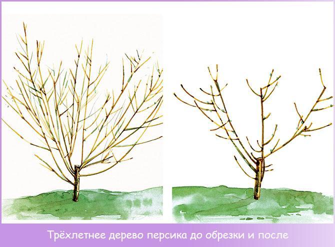 Трёхлетнее дерево персика до обрезки и после
