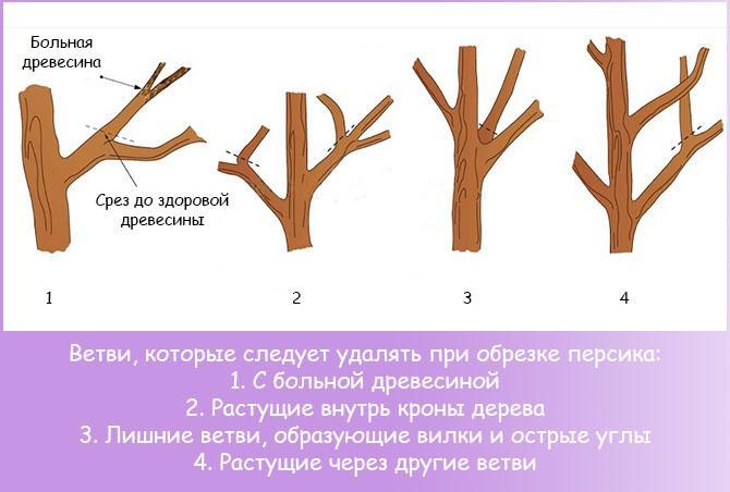 Ветви удаляемые при обрезке деревьев
