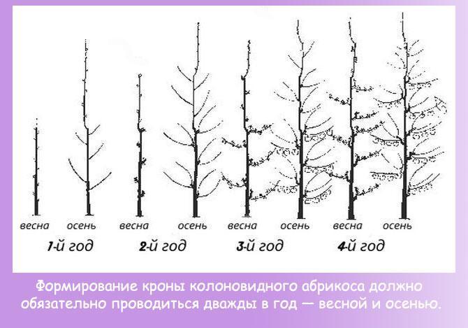 Формирование колоновидной кроны абрикоса