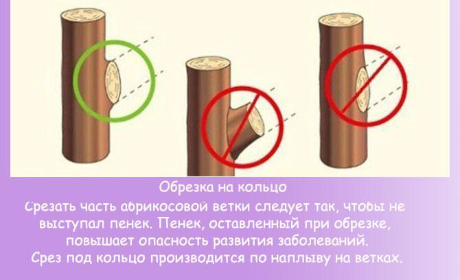 Правила обрезки ветви на кольцо
