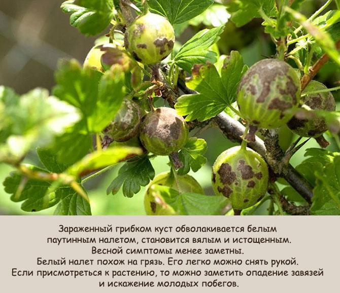 Парша на плодовых кустарниках