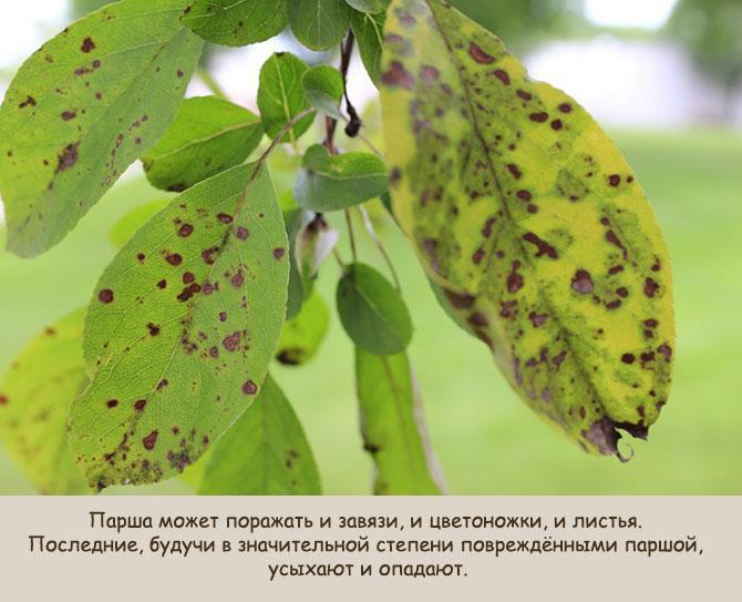 Листья, пораженные паршой
