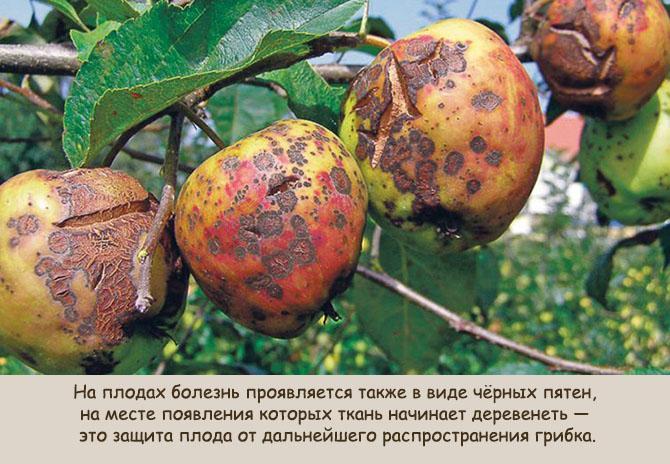 Поражение плодов яблони паршой