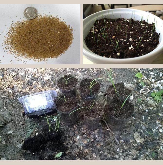 Выращивание кортадерии из семян