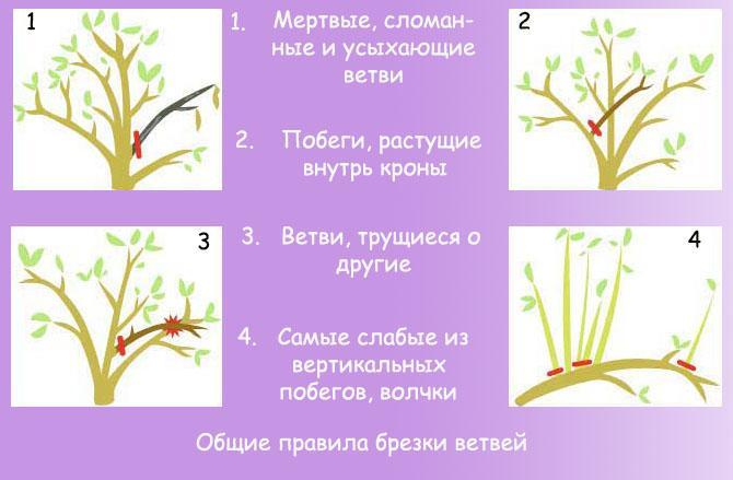Принципы обрезки ветвей абрикоса