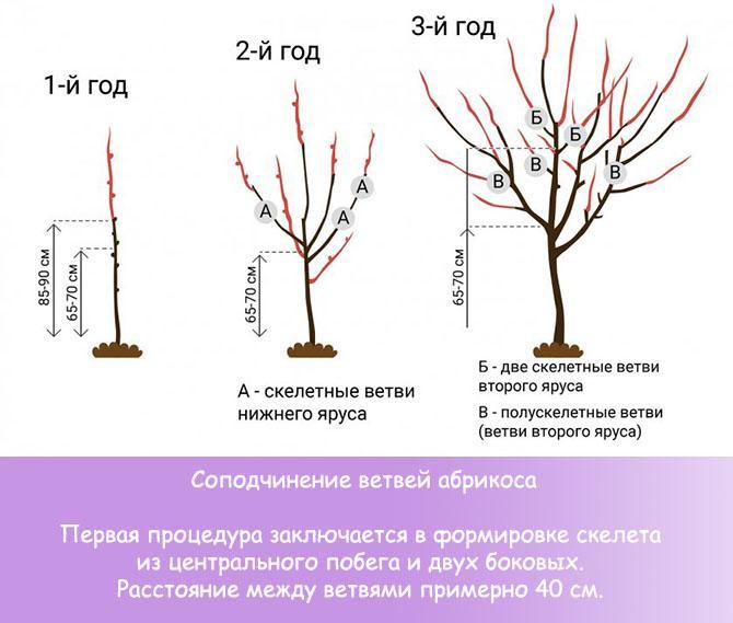 Соподчинение ветвей абрикоса