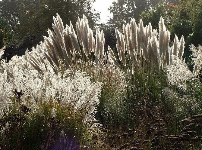 Сорта пампасной травы