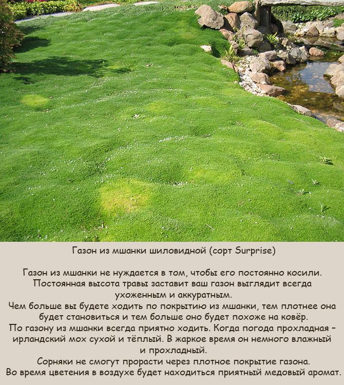 Ирландский мох в ландшафтном дизайне