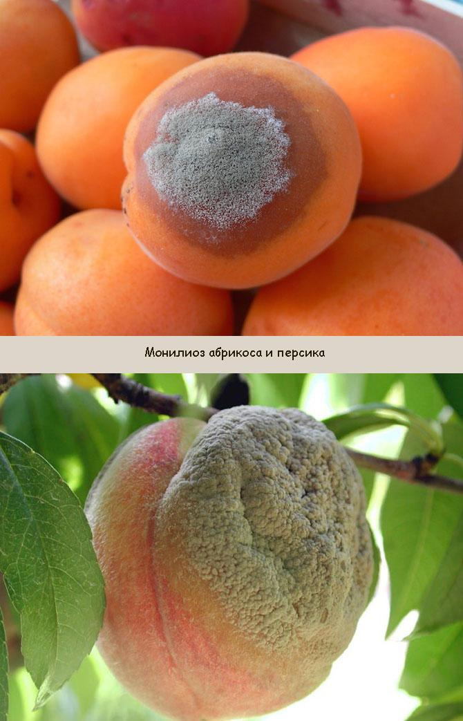 Плодовая гниль абрикоса и персика