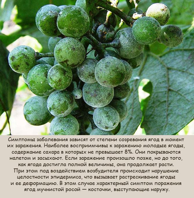 muchnistaja-rosa-na-vinograde-2.jpg