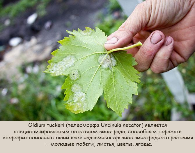 Мучнистая роса на виноградных листьях