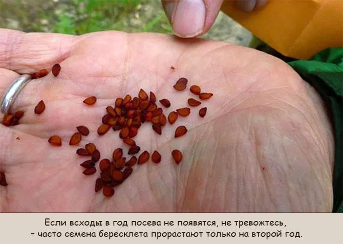 Семена бруслины