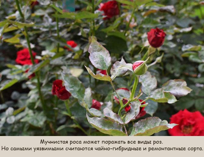 zarazhenie-roz-pepelicej-2.jpg