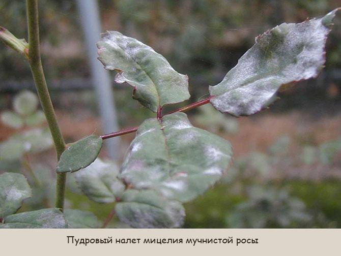 Налет мучнистой росы на розах