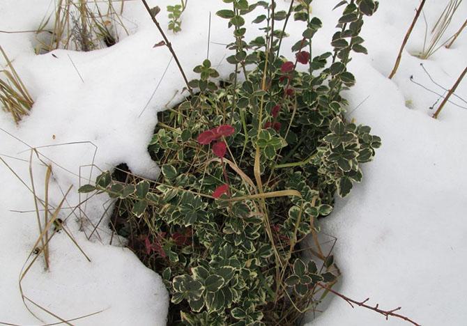 Зимний бересклет Форчуна