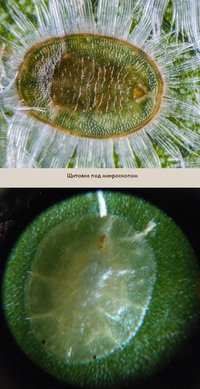 Щитовка под микроскопом