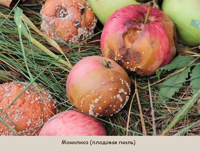 Болезни плодов яблони