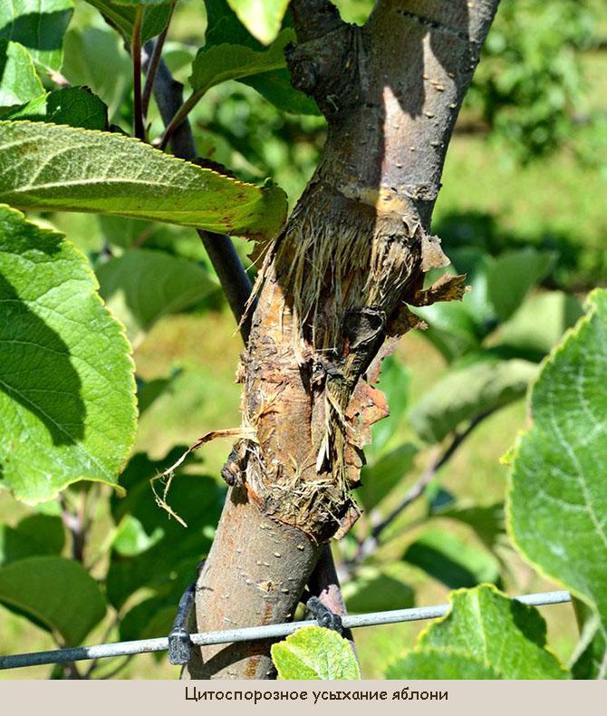 Цитоспороз на яблоне