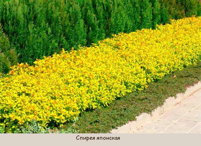 Кустарники для низкой бордюрной изгороди