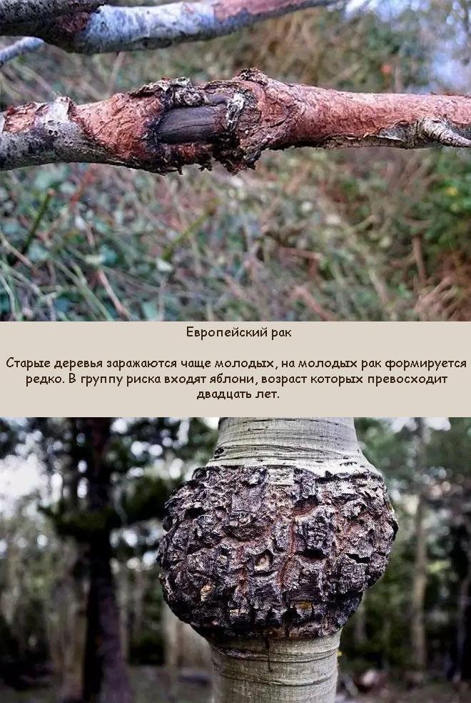 Обыкновенный рак плодовых деревьев