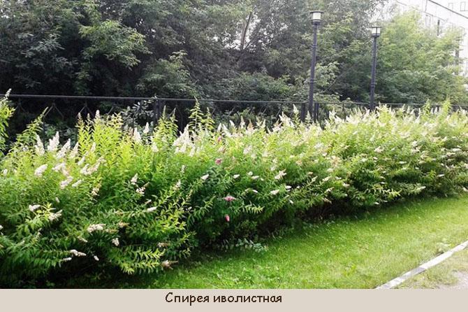 Растения для живой изгороди средней высоты