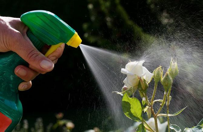 Чем обрабатывать розы от тли?