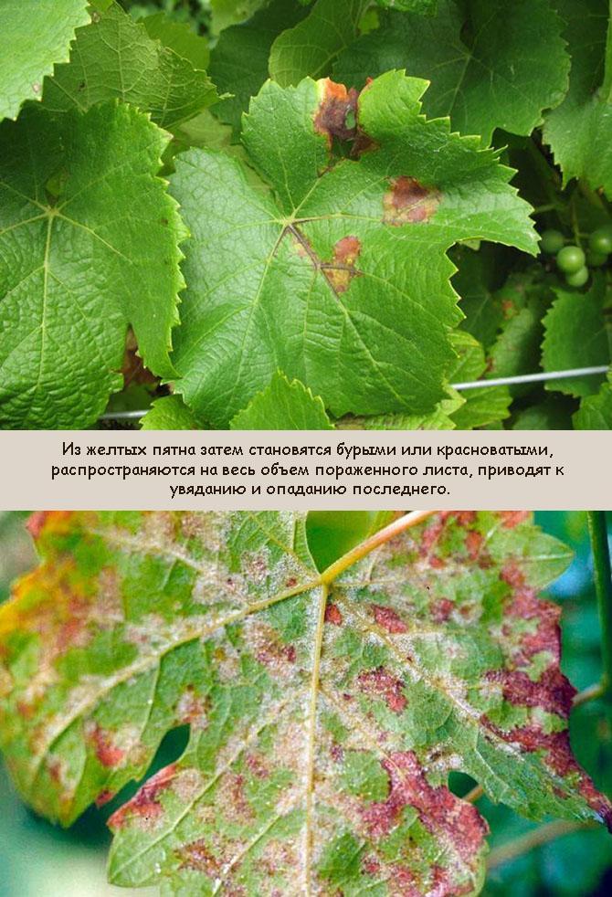 Фото милдью винограда