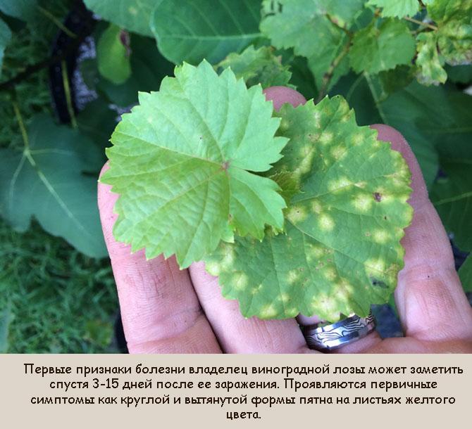 Признаки заражения винограда милдью
