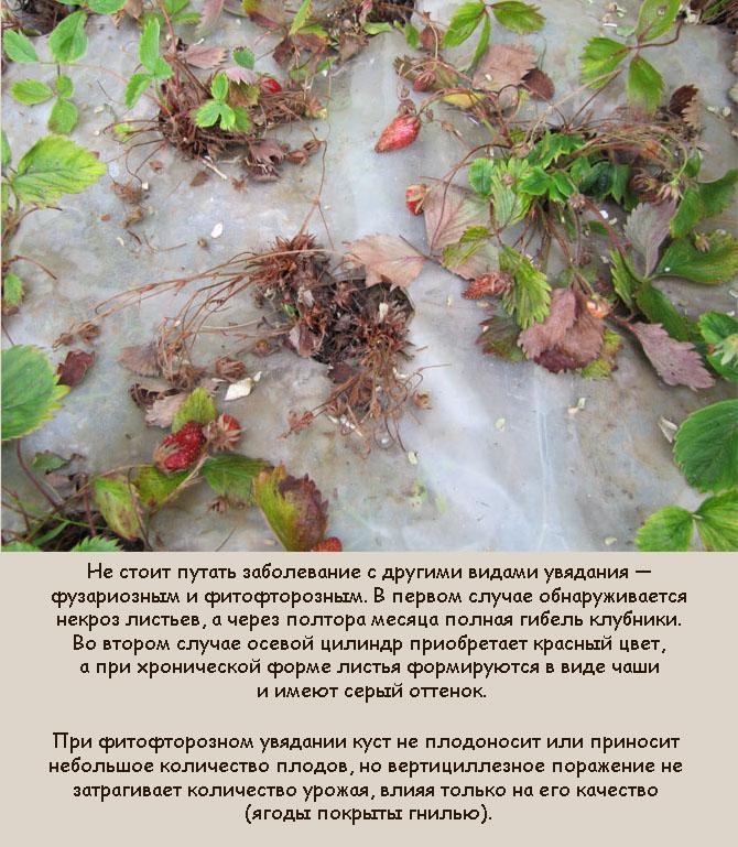Вертициллез земляники садовой