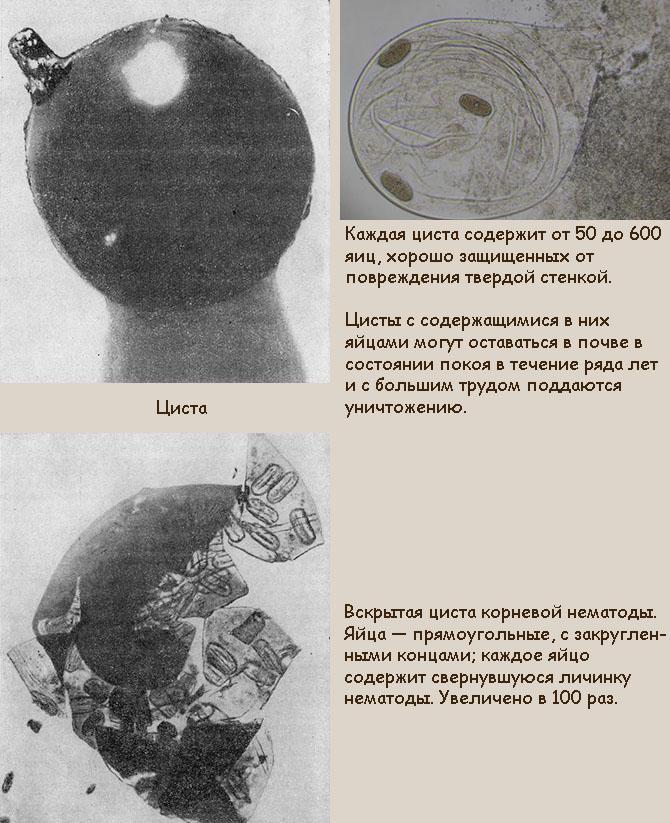 Самка земляничной нематоды