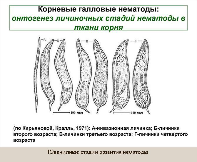 Как выглядит личинки нематоды