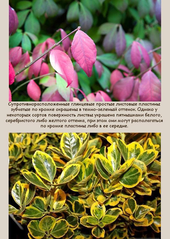 Листья бересклета
