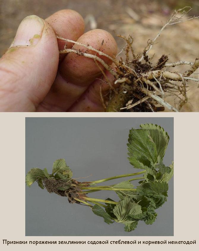 Стеблевая и корневая нематода на клубнике