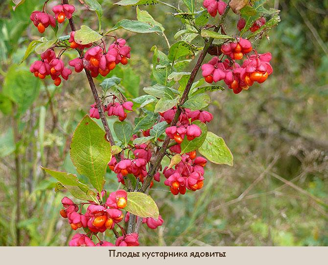 Плоды Euonymus alatus