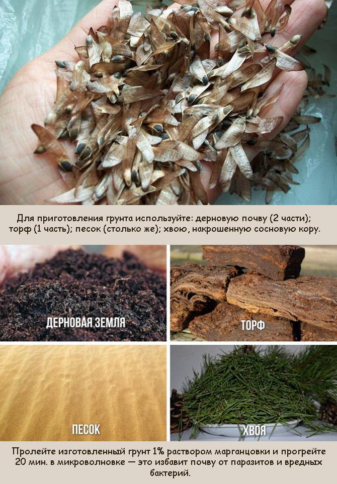 Выращивание декоративной сосны из семян