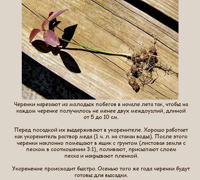Черенкование Euonymus alatus